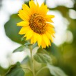 Bright yellow sunflowers — Stock Photo #64922007