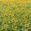 Bright yellow sunflowers — Stock Photo #64923377