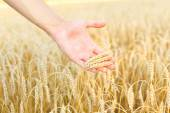 Woman hand touching wheat — Stock Photo