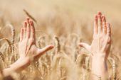 Woman hand touching wheat — Stock Photo