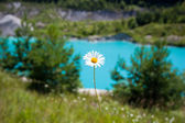 Camomile against blue water — Stock Photo