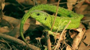 Macro shot of the green lizard. — Stock Video