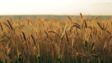 Golden rye field pan — Vídeo stock