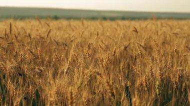 Pan de campo amarelo centeio orelhas — Vídeo stock