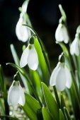Snowdrops- spring white flowers with soft background — Stock Photo