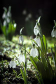 Snowdrops- spring white flowers with soft background — Foto de Stock