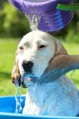 Beagle take a summer bath — Stock Photo