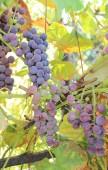 Branch of purple ripe grapes — Foto de Stock
