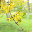 Twig tree with blooming flowers in spring — Stock Photo #63794979