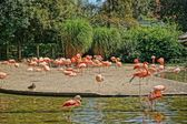 Pink flamingos in Prague Zoo — Stock Photo