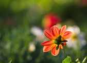 Glowing Gerbera flower — Stock Photo