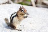 Wild Chipmunk (Tamias Striatus) — Stock Photo