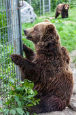 Grizzly Bears in Captivity — Stock Photo