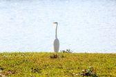 Lonely white bird on shore of lake — Stock Photo