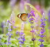 Monarch butterfly on flower in garden on morning — Stock Photo