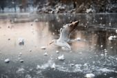 Seagull over a frozen lake in winter — Photo