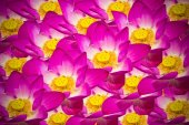 Abstract background of lotus flowers — Stock Photo