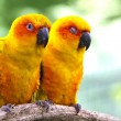 Conures parrots are sitting on a tree branch and look at the cam — Stock Photo #56593823