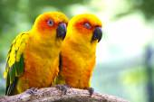 Conures parrots are sitting on a tree branch and look at the cam — Stock Photo