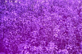 Beautiful Flower  purple in the garden  with soft focus — Stock Photo