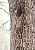 Wiewiórka leżącego na drzewie — Zdjęcie stockowe
