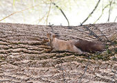 Squirrel lying on the tree — Stock Photo