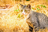 Gray cat sitting on dry hay in the garden — Stock Photo
