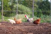 Chickens on the yard — Stock Photo