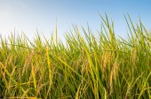 Rice field before harvest under blue sky — Stock Photo