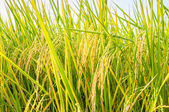 Rice field before harvest — Stock Photo