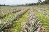 Rows of pineapple fruit (ananas comosus)  — Stock Photo