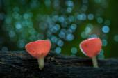 Fungi cup red mushroom or champagne mushrooms — Stock Photo