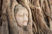 Head of sandstone buddha in the tree roots at wat mahathat templ — Stock Photo