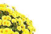 Yellow chrysanthemum flowers — Stock Photo