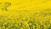 Yellow rapeseed flowers on field — Stock Photo