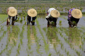 Farmers plant rice at city of Nyaungshwe — Stock Photo