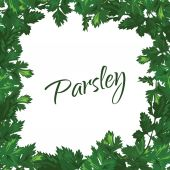 Parsley on a white background. Vector green frame of greenery. — Vector de stock
