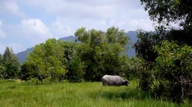 Asia Buffalo in Country Field with Green Grass — Stock Video