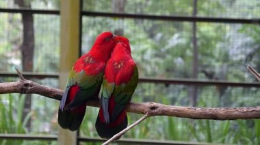 Closeup of Pair Lovebirds Sitting Together in Parrot Park — Stock Video