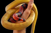 Hand holding a pair of snakes — Stock Photo