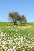 Flores oliva — Foto de Stock