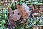 Frozen leaves in winter — Stock Photo