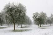 Olive grovein winter — Stock Photo