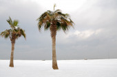 Palm trees covered with snow — Stock Photo