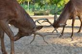 Fight  between deer — Foto de Stock