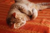 欧洲猫 — 图库照片