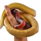 Pair of colubrid snakes — Stock Photo