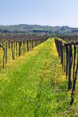 Vineyard — Foto de Stock