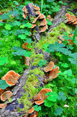 Ganoderma lucidum - parasitic fungus — Stock Photo