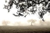 Olive grove in the fog — Stockfoto